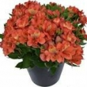 Picture of Alstroemeria Reef
