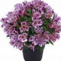 Picture of Alstroemeria Mystic