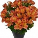 Picture of Alstroemeria Safari