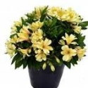 Picture of Alstroemeria Sundance