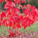 Picture of Acer Buergerianum