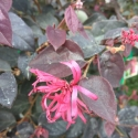 Picture of Loropetalum Zar De Doo Cone