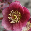 Picture of Helleborus Little Charmer