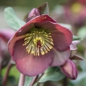 Picture of Helleborus Ruby Daydream
