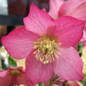 Picture of Helleborus Princess Rosemary