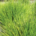 Picture of Lomandra Dalliance