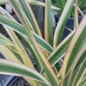 Picture of Phormium Tricolour