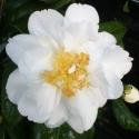 Picture of Camellia Silver Anniversary