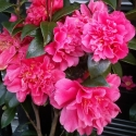 Picture of Camellia Mark Alan