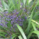 Picture of Dianella Emperors Pearl