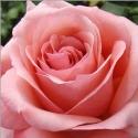 Picture of Imagine-Rose
