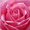 Picture of Platinum-Rose