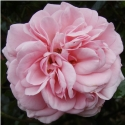 Picture of Home and Garden-Rose