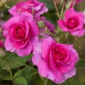 Picture of Wonderland-Rose