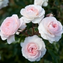 Picture of Powderpuff-Rose