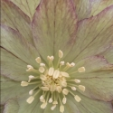 Picture of Helleborus Double Green Spotted