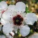 Picture of Leptospermum Karekare