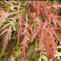 Picture of Acer Russet Lace Leaf H/W