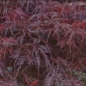 Picture of Acer Lace Lady LW