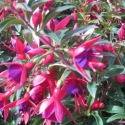 Picture of Fuchsia Electric Lights