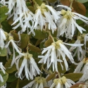Picture of Loropetalum Blonde N Gorgeous