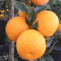 Picture of Kumquat Chinotto Std