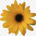 Picture of Arctotis Fireburst Yellow