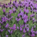 Picture of Lavender Fairy Wings Spellbound