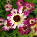 Picture of Coreopsis Highland Pink