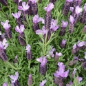 Picture of Lavender Riverina Margaret