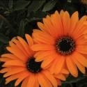 Picture of Arctotis Fireburst Orange