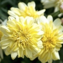 Picture of Daisy Angelic Maize