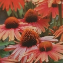 Picture of Echinacea Moodz Joy