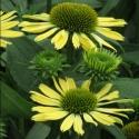 Picture of Echinacea Moodz Shiny