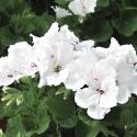 Picture of Geranium Aristo Lotus