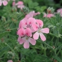 Picture of Geranium Sweet Mimosa