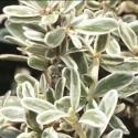 Picture of Coprosma Kirkii Variegata
