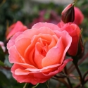 Picture of Oriental Palace Std 45cm-Rose