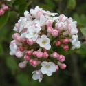 Picture of Viburnum Anne Russell