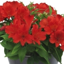 Picture of Alstroemeria Fire