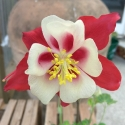 Picture of Aquilegia Songbird Mix