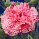 Picture of Dianthus Pinball Wizard
