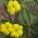 Picture of Jasminum Mesnyi