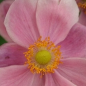 Picture of Anemone Hot Pink