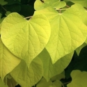 Picture of Cercis Hearts of Gold