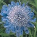 Picture of Scabiosa Ritz Blue