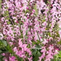 Picture of Salvia Pink Dawn
