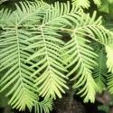 Picture of Metasequoia Glyptostroboides
