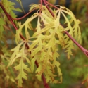 Picture of Acer Moss Gold