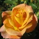 Picture of Gold Medal-Rose